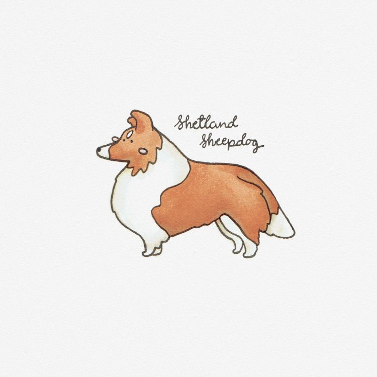 Shetland Sheepdog, copic marker illustration